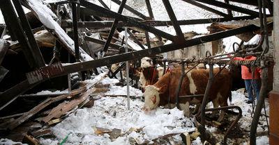 Dach eingestürzt: Kühe und Kälber aus Stall befreit