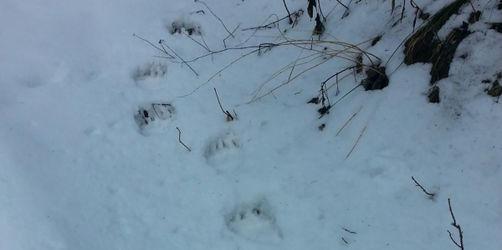 Tatzenabdrücke im Schnee: Wieder Spur von Braunbär in Bayern