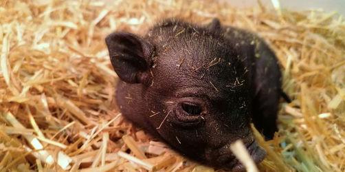 MiniPig Winnie: Dieses bayerische Glücksschwein versüßt den Jahreswechsel