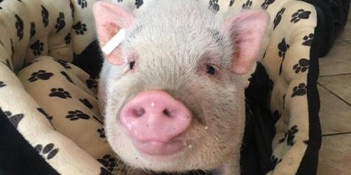 Erlangen-Höchstadt: Schweinchen sucht neues Herr-/Frauchen