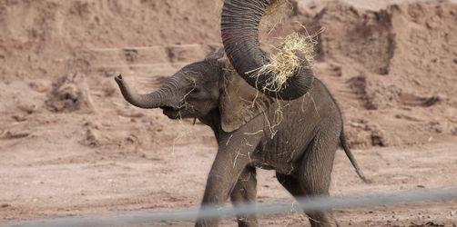 Tierpark München: Elefantenbaby Otto entwickelt sich prächtig