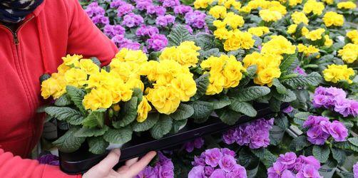 Frühlingsgruß für Senioren: Lindau verteilt Primeln