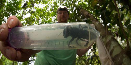 Größte Biene der Welt entdeckt: So sieht sie aus!