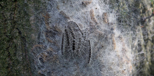 Giftige Raupen: Eichenprozessionsspinner breiten sich aus - so könnt ihr euch schützen