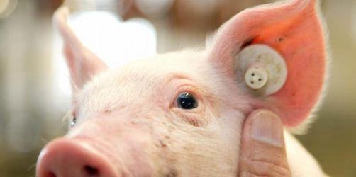 Pick a pig! - Hier können Sie online echte Schweine füttern!