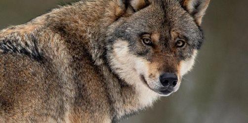 Abschuss von Wölfen wird einfacher