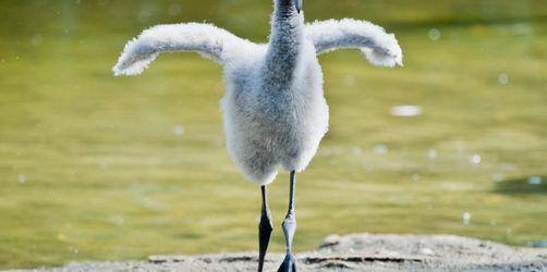 Flamingo-Küken und die Sache mit den Carotinoiden