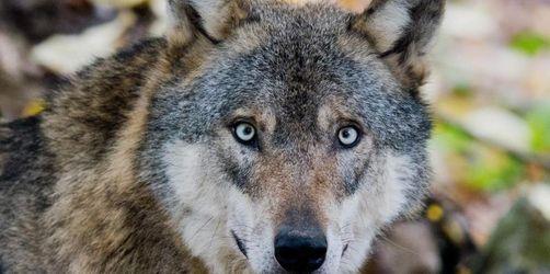 Jetzt bestätigt: Wolf hat Kälber im Oberallgäu getötet