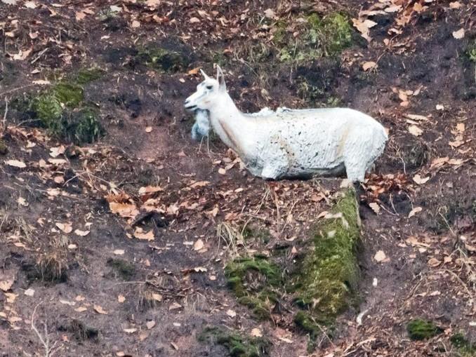 Die Figur einer weißen Ziege steht im Collenberger Steinbruch.