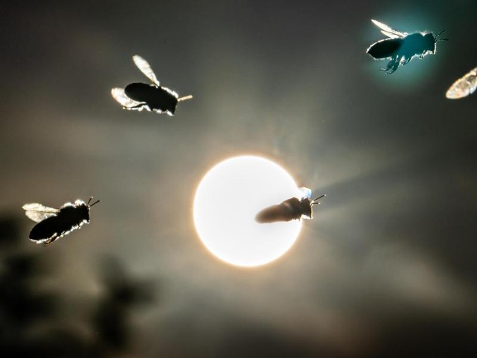 Bienen fliegen vor der tief stehenden Sonne. /Archiv