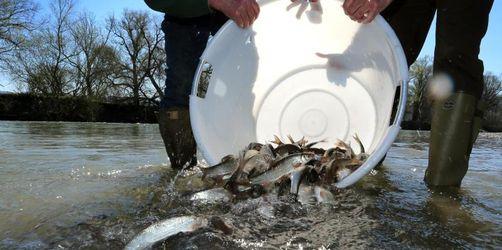 Bedrohte Fische zurück in Iller