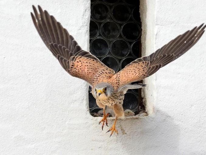 Ein Turmfalke verlässt sein Nest. Thomas Warnack/Archivbild