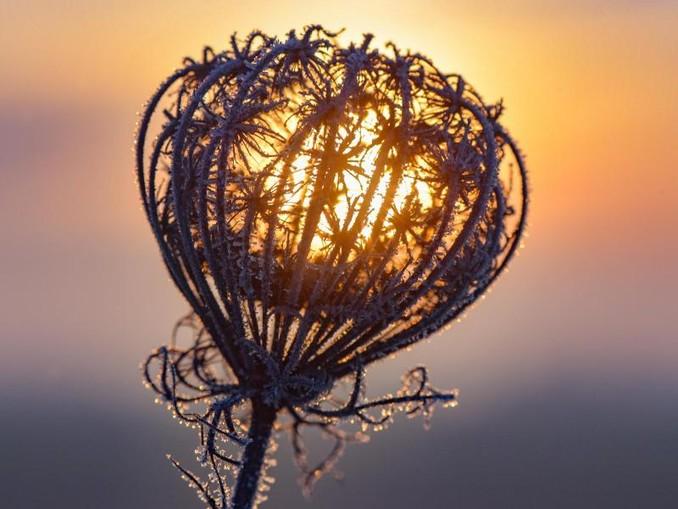 Eine vertrocknete Blütendolde ist am frühen Morgen im Sonnenaufgang mit Raureif bedeckt. /zb/dpa/Archivbild