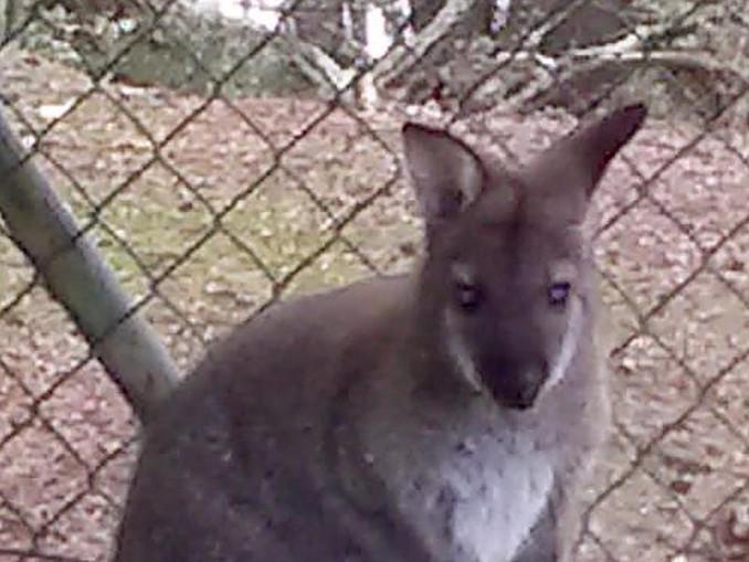 Das Foto zeigt ein ein Meter großes Wallaby. /Polizeiinspektion Cham /dpa/Archivbild