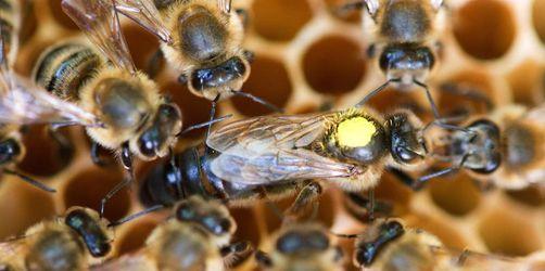 Zum Schutz der Bienen: Experten fordern Imkerei-Schein