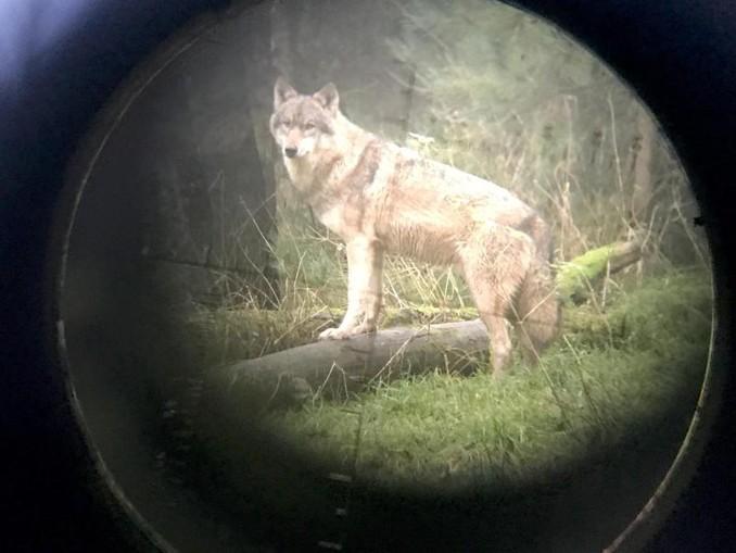 Ein Wolf im Wildpark Eekholt - fotografiert durch ein Zielfernrohr.
