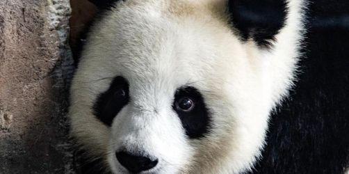 Panda-Dame Meng Meng hat keine Lust auf Ultraschall