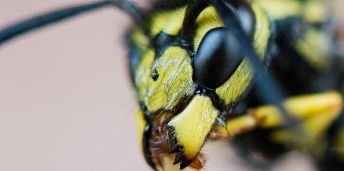 Bislang vielerorts deutlich weniger Wespen als im Vorjahr