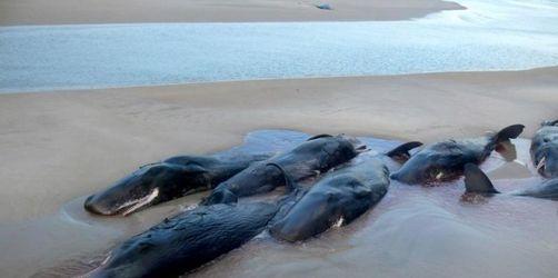 50 Pottwale in Australien gestrandet