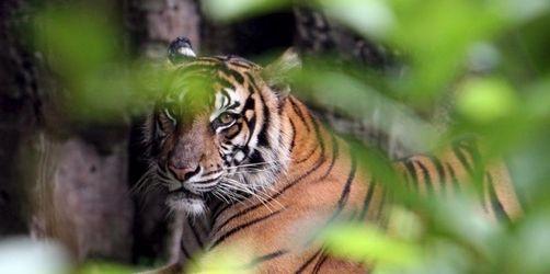 Tiger zerfleischt Bauern auf Sumatra
