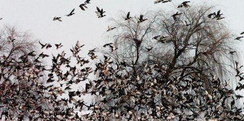 Vogelgrippe-Virus bei Wildente in Bayern entdeckt