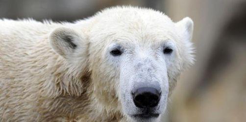Streit um Eisbär Knut geht weiter