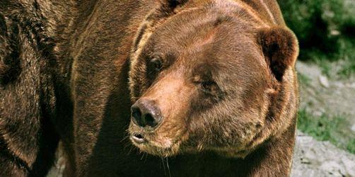 US-Bundesstaat Wyoming erlaubt Jagd auf Grizzlys
