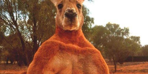 Australien trauert um Känguru Roger
