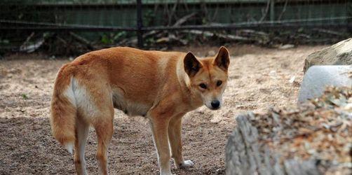 Australischer Vater rettet Kleinkind aus Maul eines Dingos