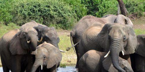 Regierung von Botsuana hebt Verbot von Elefantenjagd auf