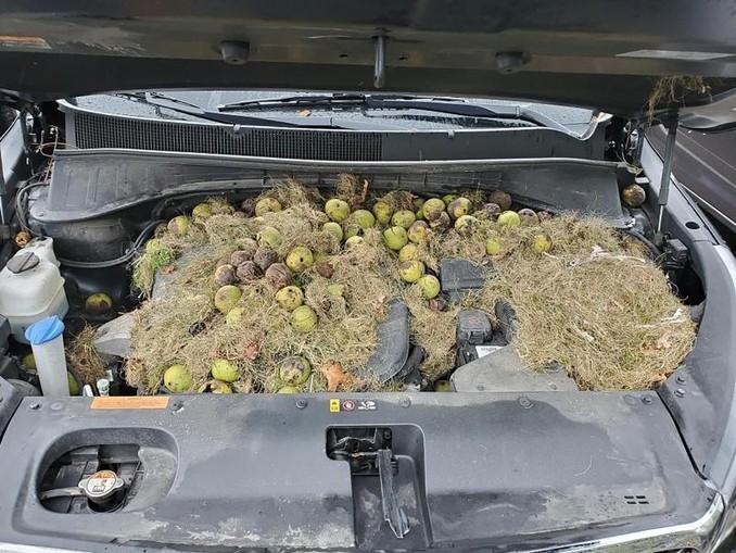 Dieses von Chris Persic zur Verfügung gestellte Foto zeigt die Motorhaube seines Autos: Eichhörnchen hatten mehr als 200 Walnüsse und Gras gehortet. /AP/dpa