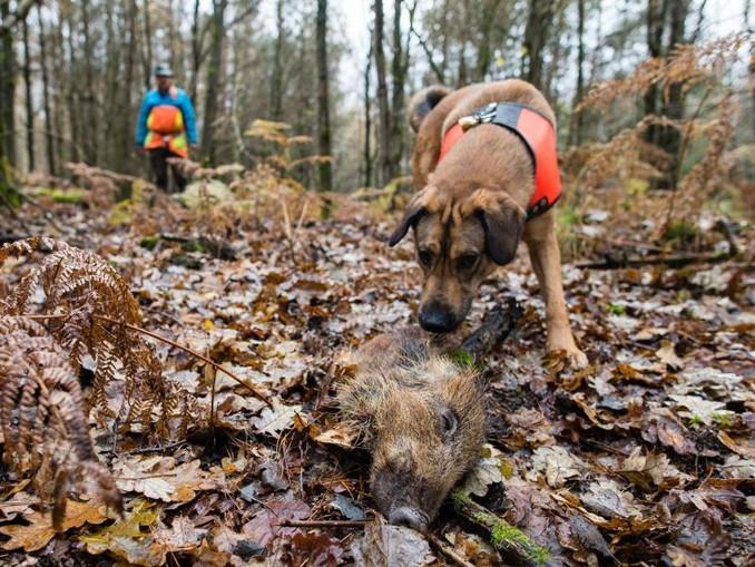 Mischling Otto hat ein Stück Wildschwein aufgespürt, das zum Training ausgelegt wurde. Otto ist ausgebildet, tote Wildschweine aufzuspüren, die auf das Virus 'Afrikanische Schweinepest' (ASP) untersucht werden sollen. /dpa