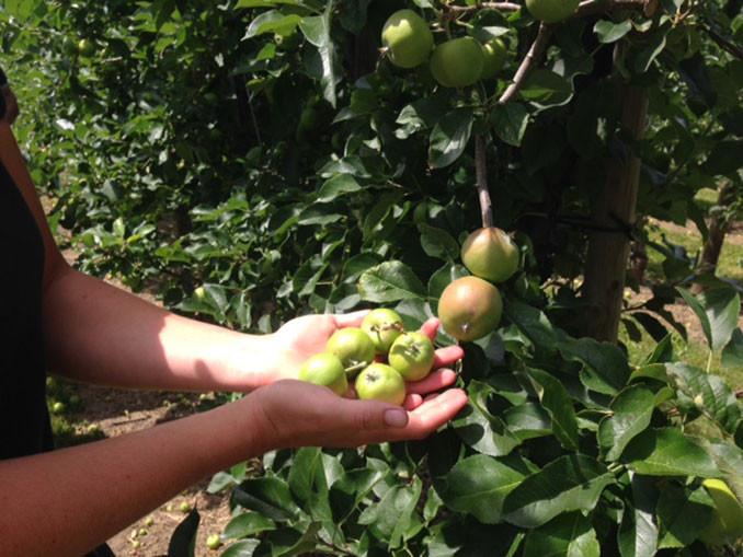 Beliebt Bevorzugt Heißer Tipp vom Obstbauern: Grüne Äpfel vom Baum reißen! | ANTENNE &FL_79