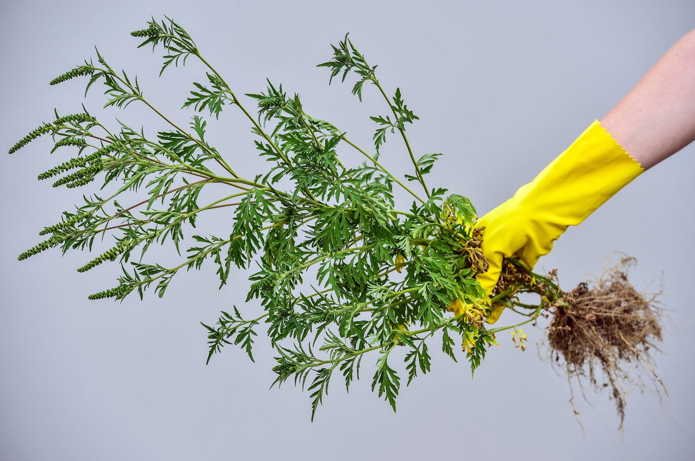 vorsicht ambrosia so erkennt ihr die giftige pflanze und entsorgt sie richtig antenne bayern. Black Bedroom Furniture Sets. Home Design Ideas