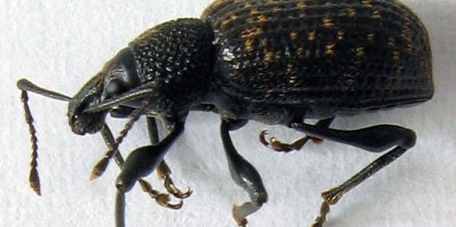 Schädlingsbekämpung im Garten: Was tun gegen den Dickmaulrüssler?