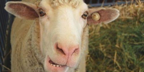 Schafe & Co. - die kuriosesten Gründe für Stau